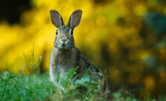 'Deadly rabbit virus' spreads in the United States, warn