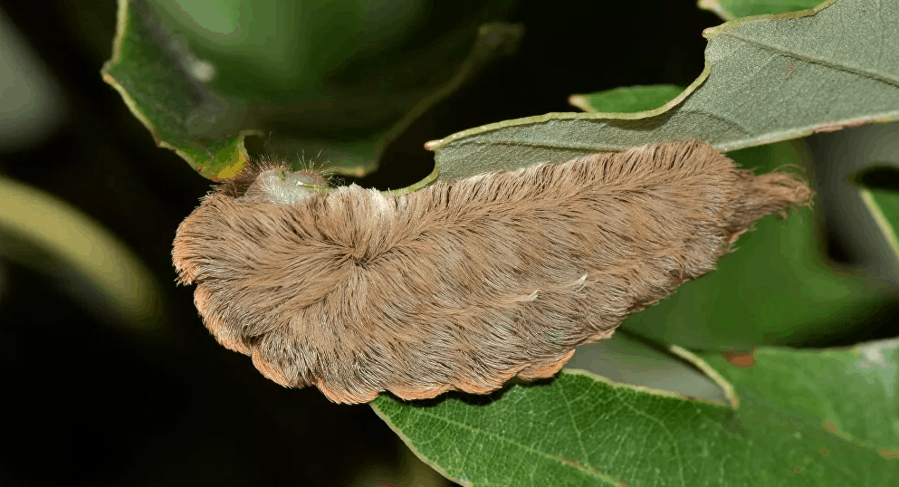 Hairy, venomous caterpillar spotted in Virginia, Social Distance away from this caterpillar.