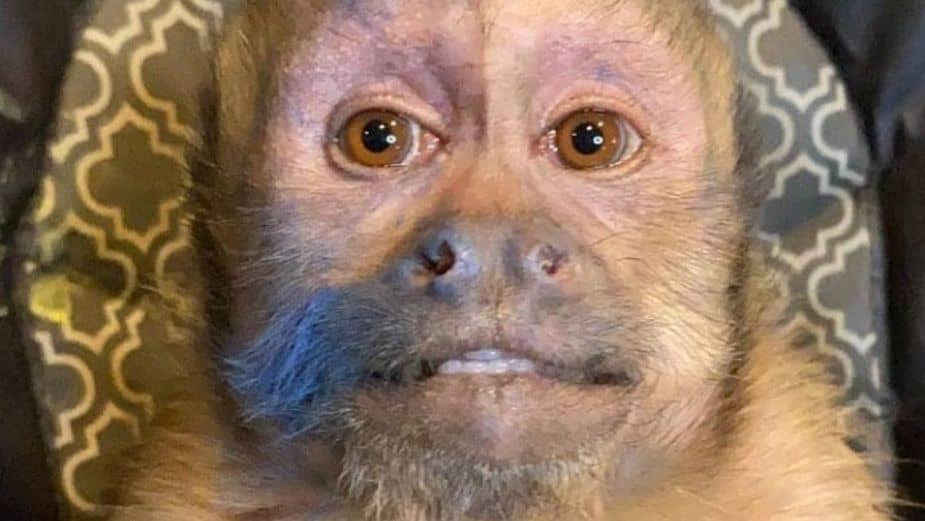 Famous Monkey George Died, What Happened To Him?